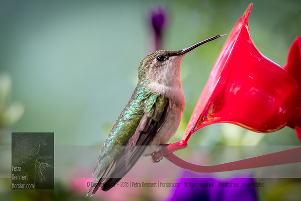 June 29, 2016 View my collection of all Hummingbird impressions taken in Minnesota in the Hummingbird gallery.  For more information on the female ruby-throated hummingbird (Archilochus colubris) click Wikipedia.