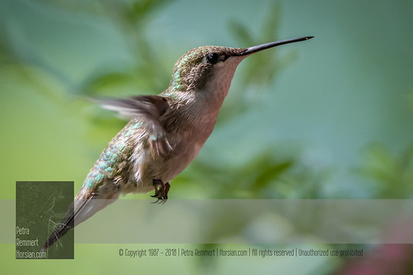 June 27, 2016 View my collection of all Hummingbird impressions taken in Minnesota in the Hummingbird gallery.  For more information on the female ruby-throated hummingbird (Archilochus colubris) click Wikipedia.