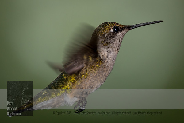 """August 25, 2016 <br> View my collection of all Hummingbird impressions taken in Minnesota in the <b><a class=""""url"""" href=""""http://smu.gs/29lqfMK"""" target=""""_blank"""">Hummingbird gallery</a></b>. <br> For more information on the female ruby-throated hummingbird (Archilochus colubris) click <b><a class=""""url"""" href=""""https://en.wikipedia.org/wiki/Ruby-throated_hummingbird"""" target=""""_blank"""">Wikipedia</a><b>.</b></b>"""
