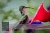"For more information on the hummingbird (Trochilidae) click <a class=""url"" href=""https://en.wikipedia.org/wiki/Hummingbird"" target=""_blank"">Wikipedia</a>."