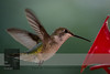 "August 23, 2016 <br> View my collection of all Hummingbird impressions taken in Minnesota in the <b><a class=""url"" href=""http://smu.gs/29lqfMK"" target=""_blank"">Hummingbird gallery</a></b>. <br> For more information on the ruby-throated hummingbird (Archilochus colubris) click <b><a class=""url"" href=""https://en.wikipedia.org/wiki/Ruby-throated_hummingbird"" target=""_blank"">Wikipedia</a><b>.</b></b>"