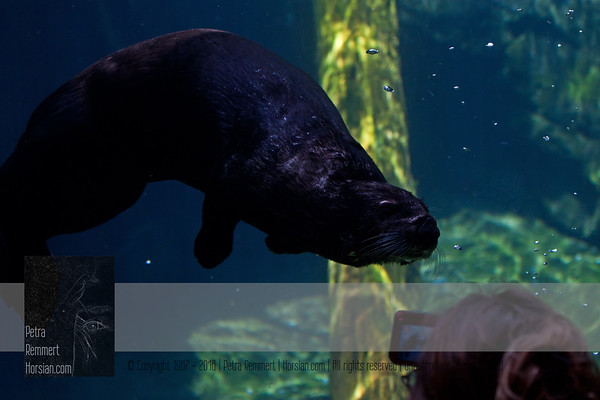For more information on the Sea Otter (Enhydra lutris) please visit the Minnesota Zoo.