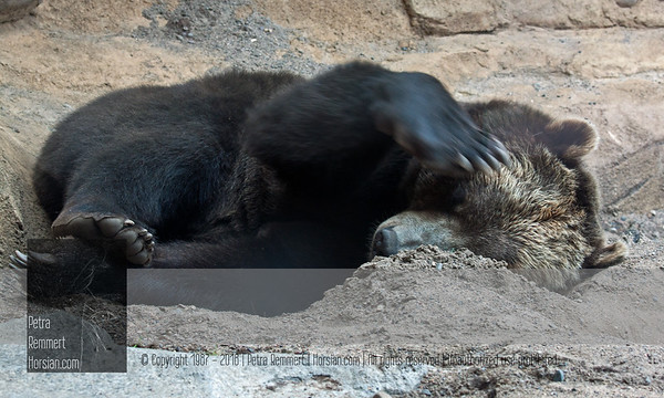 """For more information on the Brown Bear (Ursus arctos), aka """"Grizzly"""", please visit the Minnesota Zoo."""