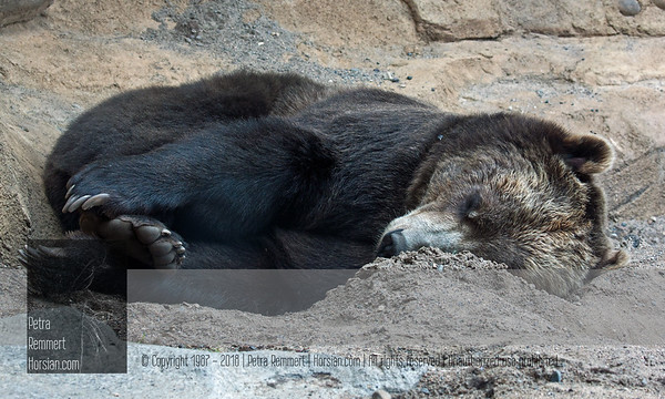 """Bonne nuit !  For more information on the Brown Bear (Ursus arctos), aka """"Grizzly"""", please visit the Minnesota Zoo."""