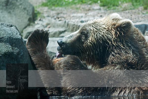 "For more information on the Brown Bear (Ursus arctos), aka ""Grizzly"", please visit the Minnesota Zoo."