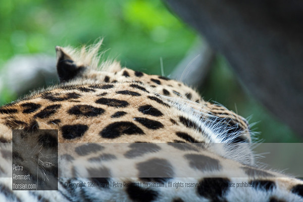 For more information on the Amur Leopard (Panthera pardus orientalis) please visit the Minnesota Zoo.