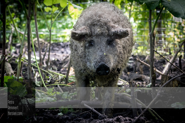 Non-chemical Restoration with very rare Hungarian Mangalica Pigs in Minnesota (USA)
