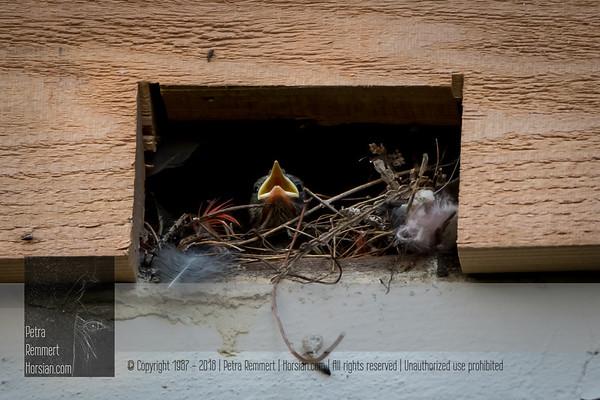 Nesting in Cedar Siding