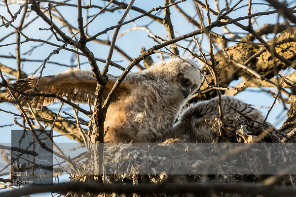 Apr 01, 2017  For more information on the great horned owl, tiger owl or hoot owl (Bubo virginianus) click Wikipedia.