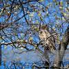 """May 02, 2017  <p>For more information on the great horned owl, tiger owl or hoot owl (Bubo virginianus) click <b><a class=""""url"""" href=""""https://en.wikipedia.org/wiki/Great_horned_owl"""" target=""""_blank"""">Wikipedia</a></b>.</p>"""