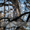 """Apr 16, 2017  <p>For more information on the great horned owl, tiger owl or hoot owl (Bubo virginianus) click <b><a class=""""url"""" href=""""https://en.wikipedia.org/wiki/Great_horned_owl"""" target=""""_blank"""">Wikipedia</a></b>.</p>"""