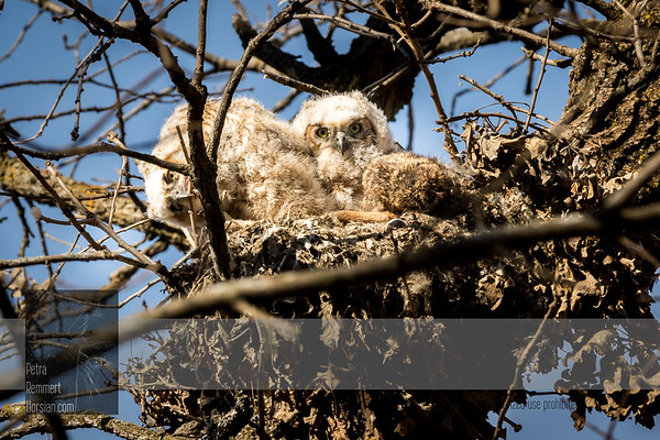 Apr 04, 2017  For more information on the great horned owl, tiger owl or hoot owl (Bubo virginianus) click Wikipedia.