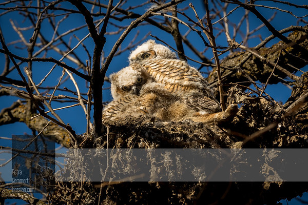 Apr 06, 2017  For more information on the great horned owl, tiger owl or hoot owl (Bubo virginianus) click Wikipedia.