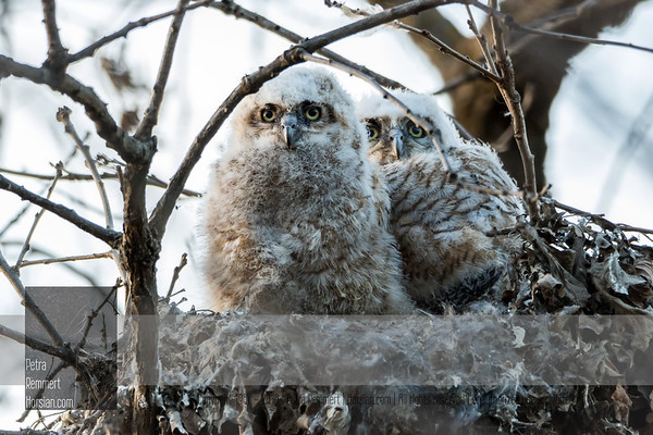 Mar 28, 2017  For more information on the great horned owl, tiger owl or hoot owl (Bubo virginianus) click Wikipedia.