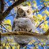 """May 07, 2017  <p>For more information on the great horned owl, tiger owl or hoot owl (Bubo virginianus) click <b><a class=""""url"""" href=""""https://en.wikipedia.org/wiki/Great_horned_owl"""" target=""""_blank"""">Wikipedia</a></b>.</p>"""