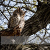 """May 03, 2017  <p>For more information on the great horned owl, tiger owl or hoot owl (Bubo virginianus) click <b><a class=""""url"""" href=""""https://en.wikipedia.org/wiki/Great_horned_owl"""" target=""""_blank"""">Wikipedia</a></b>.</p>"""