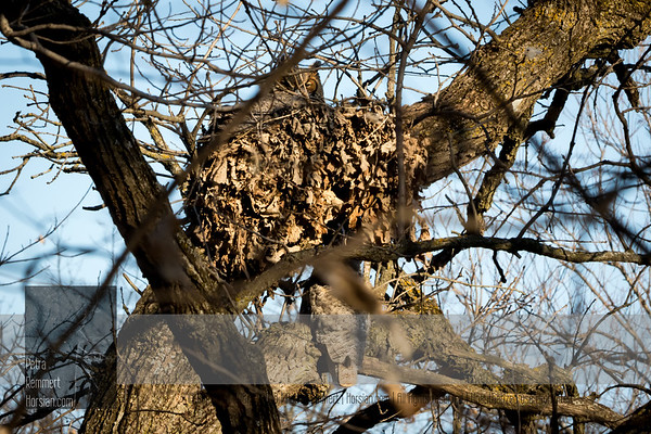 Too many branches! Can you see one owl in the nest and the other one right underneath?