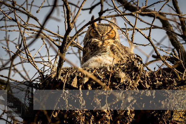 Mar 21, 2017  For more information on the great horned owl, tiger owl or hoot owl (Bubo virginianus) click Wikipedia.