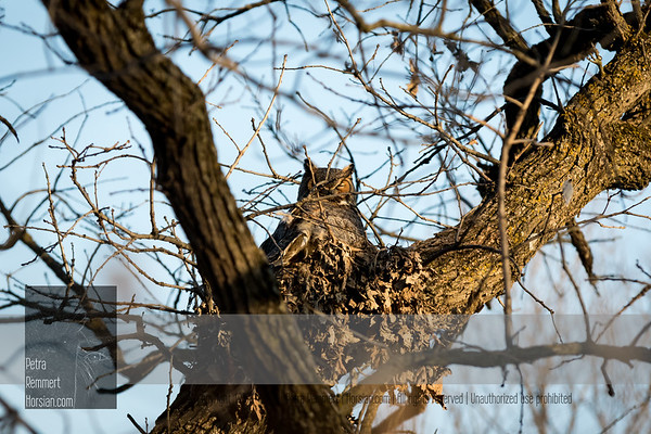Mar 16, 2017  For more information on the great horned owl, tiger owl or hoot owl (Bubo virginianus) click Wikipedia.