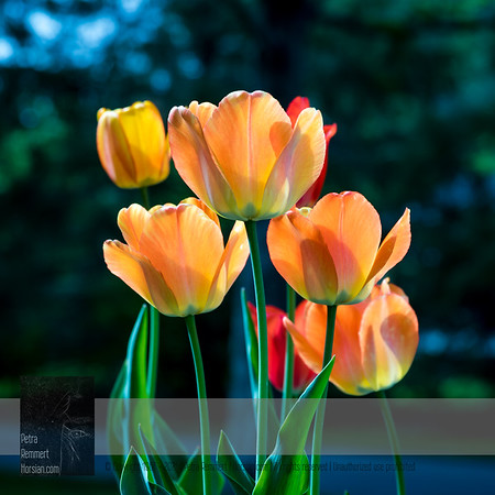 May 16, 2019: Tulips*