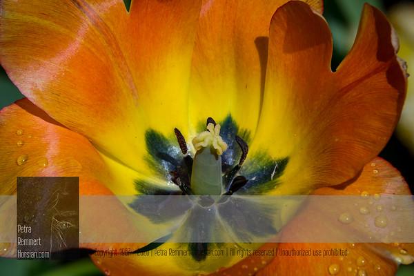May 14, 2020: Tulip*