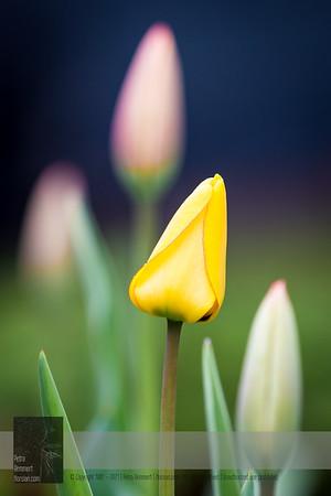 May 11, 2019: Tulips*