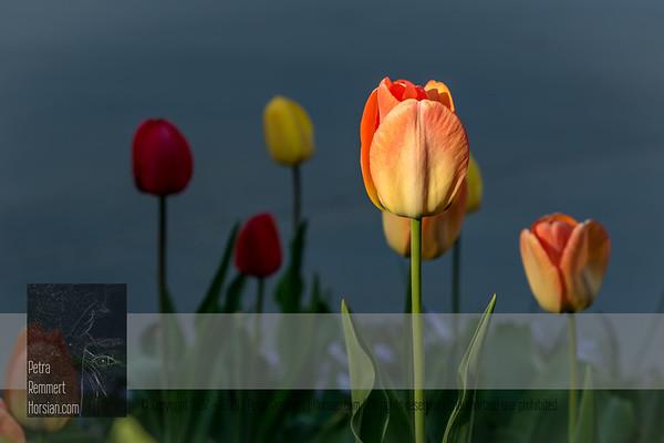 May 08, 2020: Tulips*