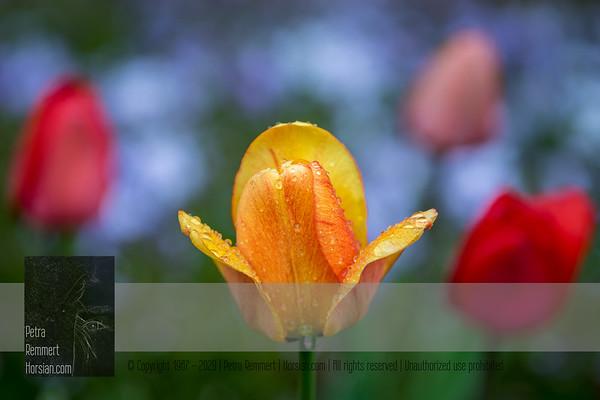 May 09, 2020: Tulip*