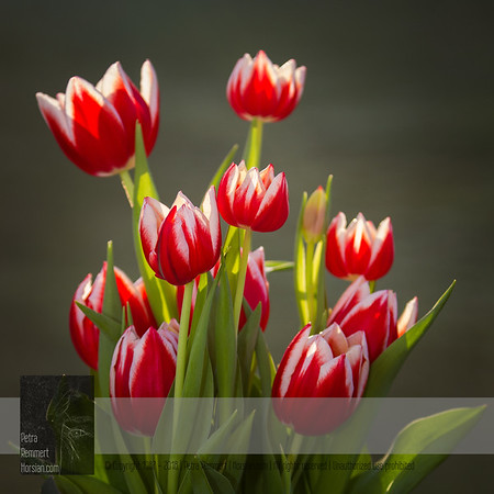 This picture is shared from the Tulip gallery. Click for more tulip pictures.