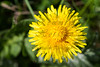 "For more information on the common dandelion (taraxacum officinale) please check <a class=""url"" href=""http://en.wikipedia.org/wiki/Taraxacum_officinale"" target=""_blank"">Wikipedia</a>."