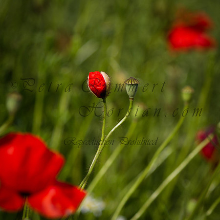 For more information on the field poppy  (Papaver rhoeas) please check Wikipedia.