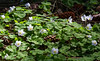 "For more information on the wood sorrel or common wood sorrel (Oxalis acetosella) please check <a class=""url"" href=""http://en.wikipedia.org/wiki/Oxalis_acetosella"" target=""_blank"">Wikipedia</a>."