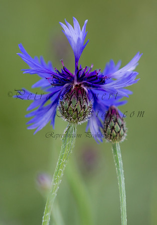 For more information on the cornflower (centaurea cyanus) please check Wikipedia.