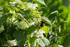 "For more information on the white nettle or white dead-nettle (lamium album) please check <a class=""url"" href=""http://en.wikipedia.org/wiki/Lamium_album"" target=""_blank"">Wikipedia</a>."