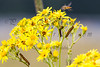 "For more information on the ragwort (jacobaea vulgaris) please check <a class=""url"" href=""http://en.wikipedia.org/wiki/Jacobaea_vulgaris"" target=""_blank"">Wikipedia</a>. For more information on the cinnabar moth (tyria jacobaeae) please check <a class=""url"" href=""http://en.wikipedia.org/wiki/Cinnabar_moth"" target=""_blank"">Wikipedia</a>."