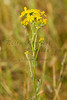 For more information on the ragwort (jacobaea vulgaris) please check Wikipedia.