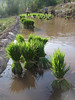Rice seedlings in bundles ready for transplanting.