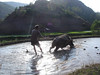Rice paddy plowing the traditional way