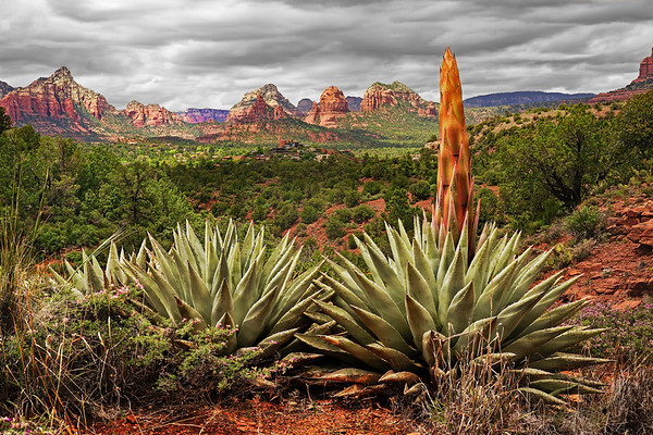 Agave plant in Sedona; #1853a