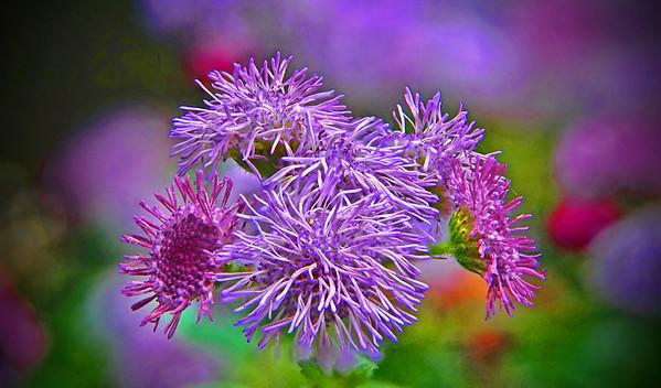 Aageratum Patina Purple - #1443