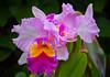 Pink orchid, Minnesota Landscape Arboretum, #0695