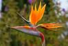 Bird of Paradise, Hawaii, #0098