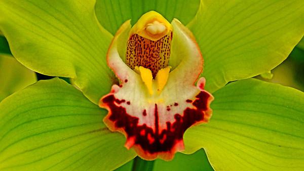 Orchid at Keukenhof Gardens, Amsterdam, #0665