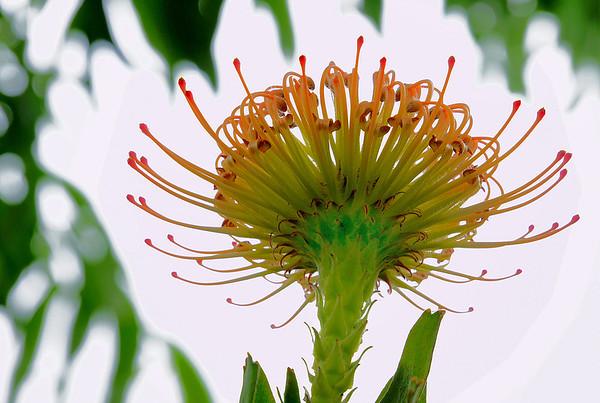 Pincushion Protea, Hawaii, #0097