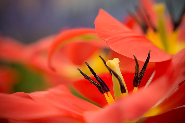 Flowers at Keukenhof Gardens in Amsterdam, Holland -- the world's largest gardens, #0346