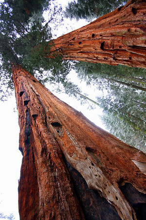 Giant Sequoia Trees in Sequoia National Park in the Sierra Nevada range reach high above the camera lens, #0115