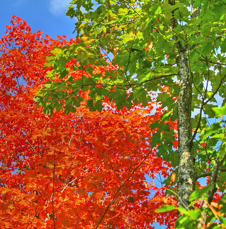 Fall Colors of red and green Maple trees on the North Shore of Lake Superior, #0165