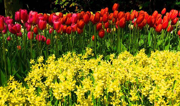Tulips at Keukenhof Gardens in Amsterdam, Holland -- the world's largest gardens, #0343