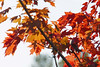 Red Maples, Shoreview, Mn., #0186