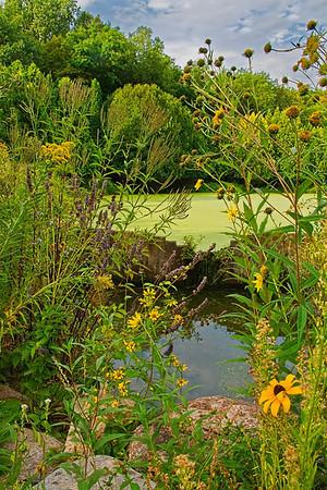 Daisy pond at the Arb